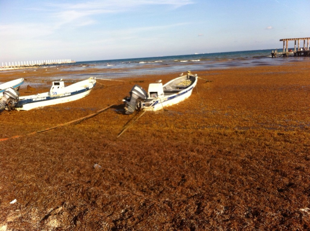 Sargassum: The What, Where, and Why of this Seaweed | Akumal Dive